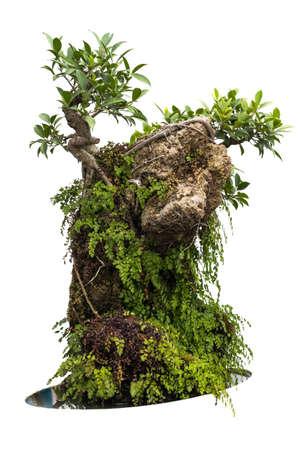 tree roots: Bonsai isolated on white background, Thailand Stock Photo