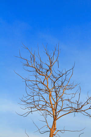 dry tree and blue sky photo