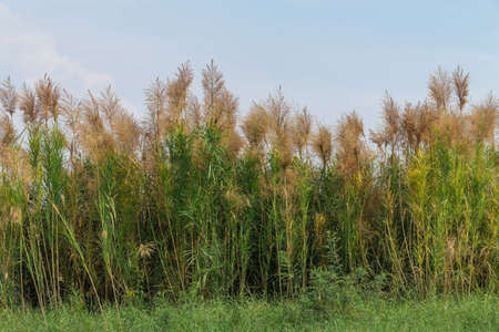 reed grass on blue sky background photo