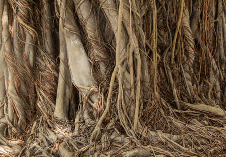Close-up of banyan tree roots, the Temple of the Emerald Buddha Wat Phrasrirattana Sasadaram  Wat Phra Kaeo , Bangkok, Thailand photo