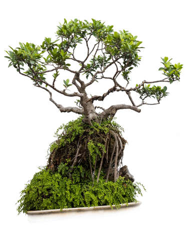 Bonsai solated on white background, Thailand photo