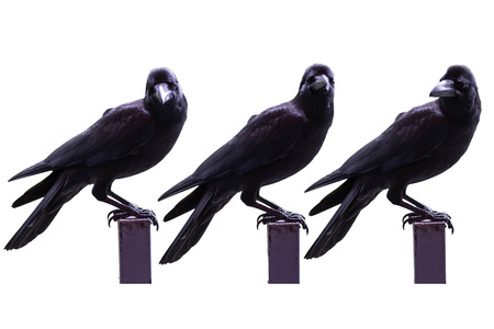 curved leg: raven bird isolate on white background Stock Photo