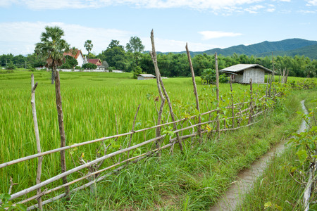 sugar palm: rice field with fence, cottage, sugar palm and temple