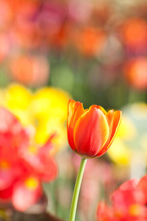 beautiful blossoming red and yellow tulip photo