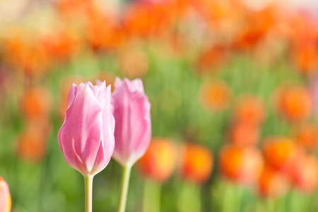 beautiful blossoming pink tulip with red green and orange background photo