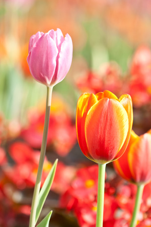beautiful blossoming red and yellow tulip