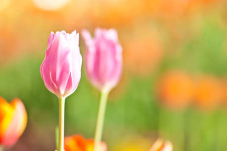 beautiful blossoming pink tulip with green and orange background photo