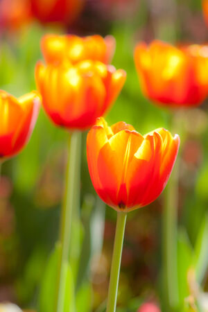 soft focus beautiful blossoming red and yellow tulip photo