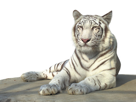 The strong white bengal tiger isolated on white background