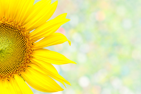 closeup beautiful blossom sunflower isolated on bokeh background photo