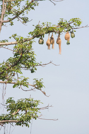 weaver bird nest: Weaver bird nest hang at a branch of the tree