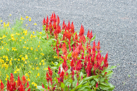 celosia: Beautiful red celosia flower in flower bed. Stock Photo