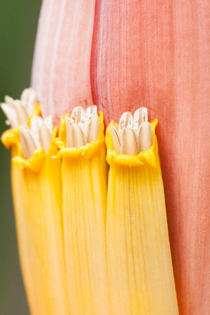 Closeup blossom flowering banana in shallow depth of field. photo