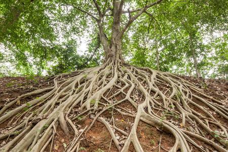 arbol raices: Las raíces del árbol de higuera de Bengala, que apareció en el suelo.