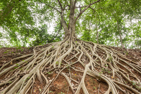 tree and roots: The roots of the banyan tree, which appeared on the ground. Stock Photo