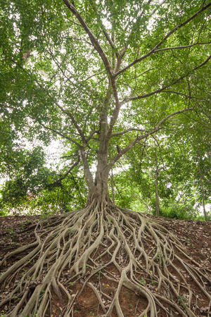 The roots of the banyan tree, which appeared on the ground. Stockfoto