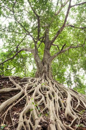 De wortels van de Banyan Tree, die verscheen op de grond.
