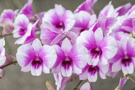 Closeup beautiful blossom purple orchid flower (Phalaenopsis) photo