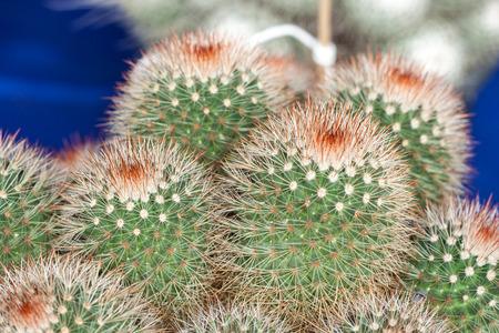 Closeup of young mammillaria or cactus Stock Photo