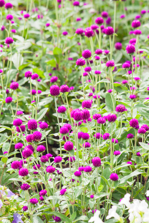pearly: Beautiful blossom purple pearly everlasting flowers. Globe Amaranth. Bachelor Button.