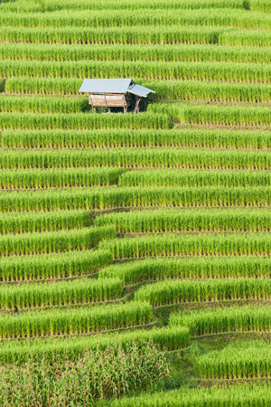 shack: beautiful green rice field terrace with shack at Maejam, Chiangmai, Thailand. Stock Photo