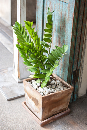 Green leaf of zamioculcas zamifolia in pottery with gravel.