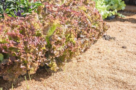 chaff: Closeup leaf of red lettuce in plots covered with chaff. Shallow depth of field. Abstract background. Stock Photo