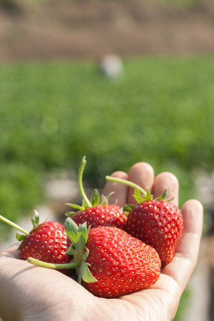 Ripe strawberry in hand with natural background. Stock Photo