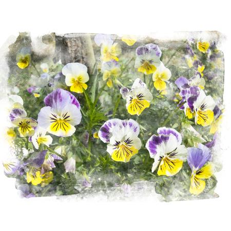 美しい黄色と紫の花のパンジー。水彩画 (レタッチ)。