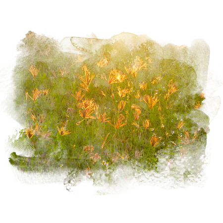 Grass flower with rim light on sunset. Watercolor painting (retouch). Stock Photo