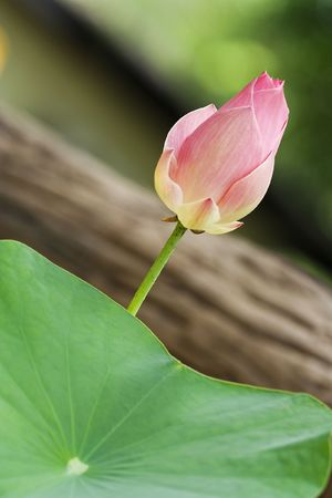 Lotus photo in Rayong Thailand Stock Photo