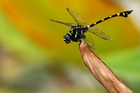 anisoptera: Dragonfly.Photo in Thailand.