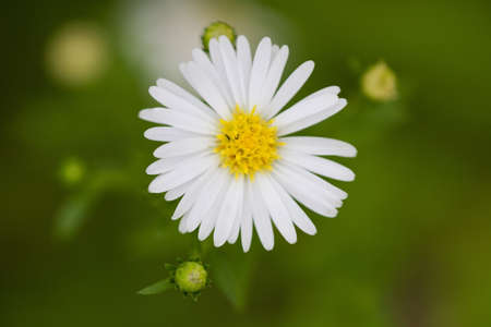 White Aster in green background.