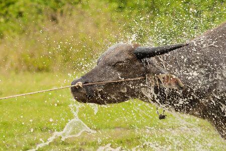 Baffalo face in water splash Stock Photo - 11321580