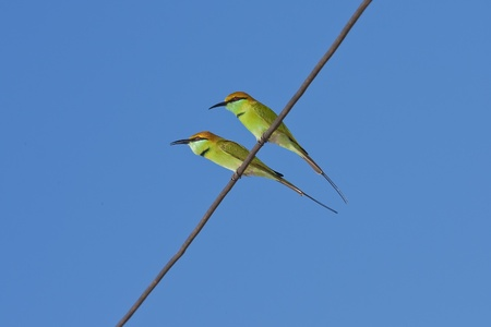 Twin Green Bee Eater sitting in electricity wire.