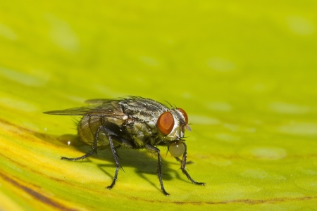 Housefly on a yellow leaf Stock Photo