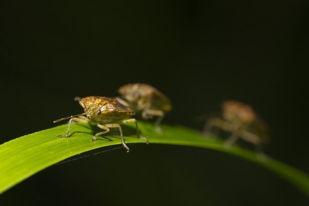 overrun: Large stink bugs on the long green grass Stock Photo