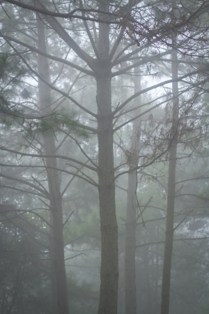 pinetree: pine tree in the mist