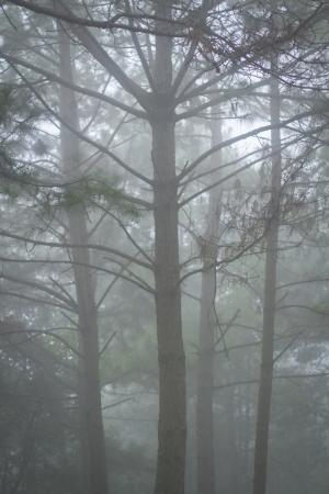 pine tree in the mist