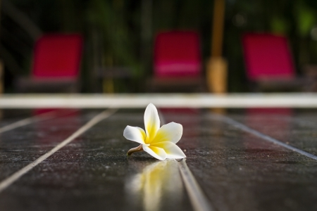 Beautyful Plumeria falling on ground  And background bordered pool chair