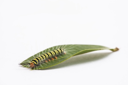 Close up green leaf and butterfly worm on white background photo