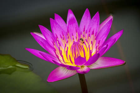 Beateful lotus over the water