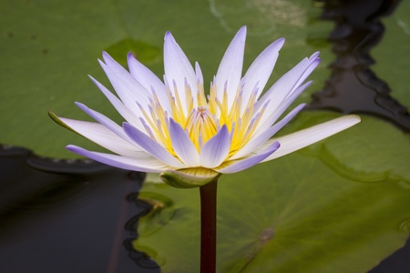 beautiful lotus on green leaf photo