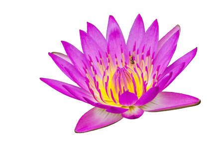 Pink lotus on white isolated