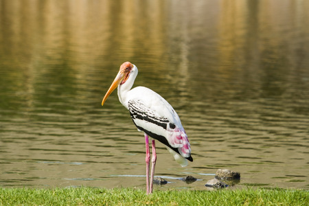 Painted Stork looking for food on the lake  Stock Photo - 26006551