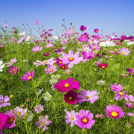 Beautiful cosmos in colorful background Stock Photo