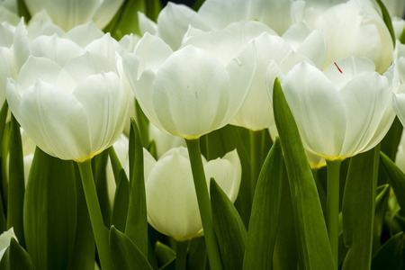 White tulip in a group