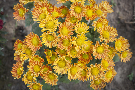 centred: Yellow bright Chysanthemum on the ground.