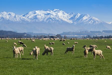 ニュージーランド羊ファームと山の背景。