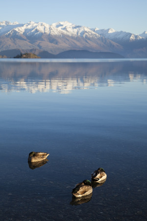 newzealand: Wild duck on Lake Wanaka, South Island of New Zealand.